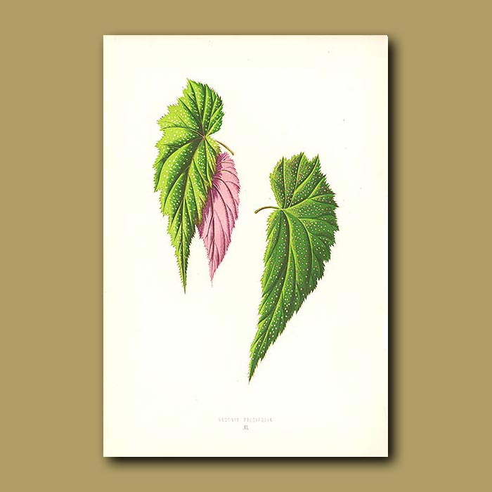 Antique print. The Sickle Leaved Begonia