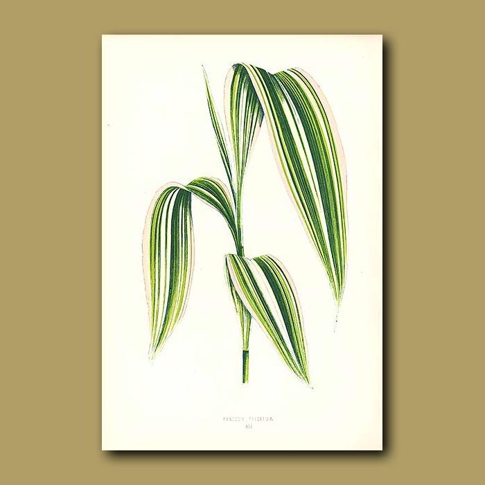 Antique print. Folded Leaved Panic Grass