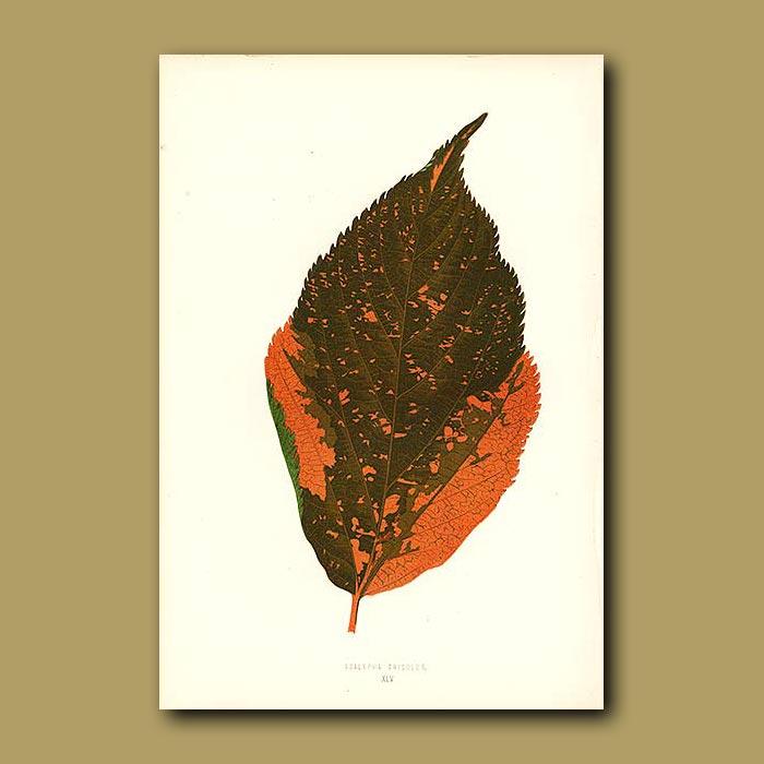 Antique print. Three Colored Acalypha (Euphorbia)