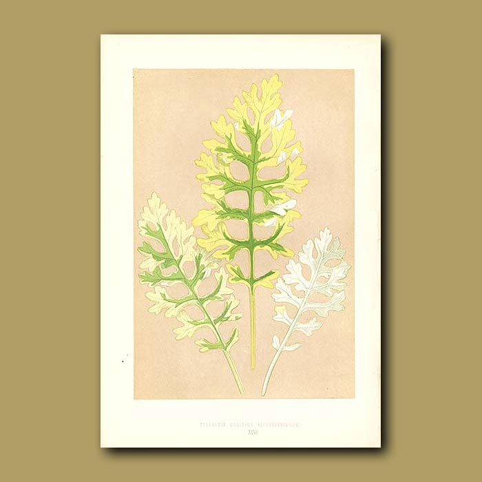 Antique print. Silver Frosted Plant or Sea Ragwort