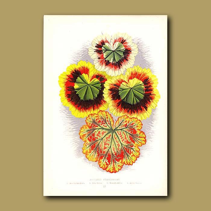Antique print. Variegated Pelargoniums
