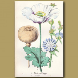 Medicinal Poppy And Chicory