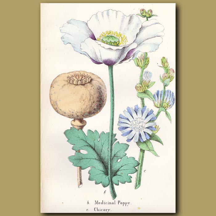 Antique print. Medicinal Poppy And Chicory