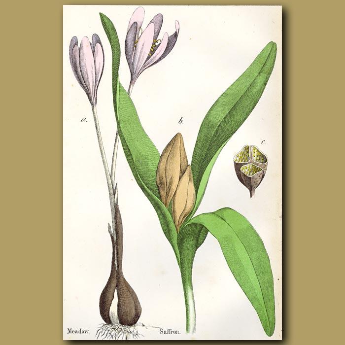 Antique print. Meadow Saffron