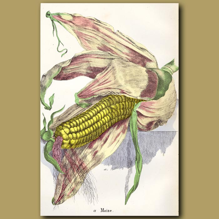 Antique print. Maize