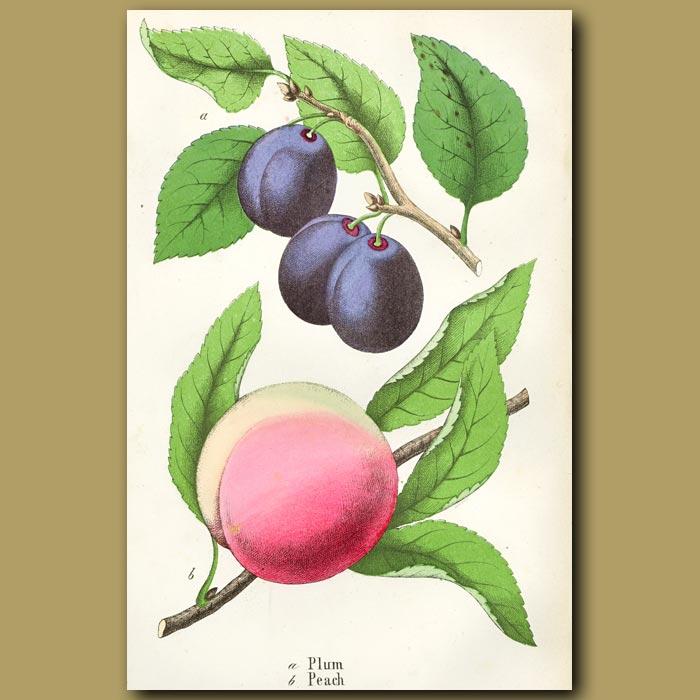 Antique print. Plum And Peach