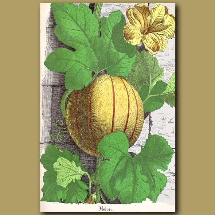 Antique print. Melon