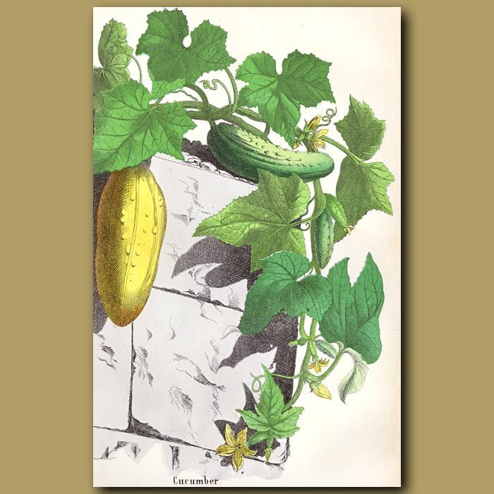 Antique print. Cucumber