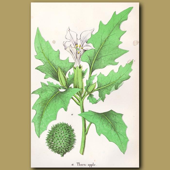 Antique print. Datura stramonium or Thorn Apple