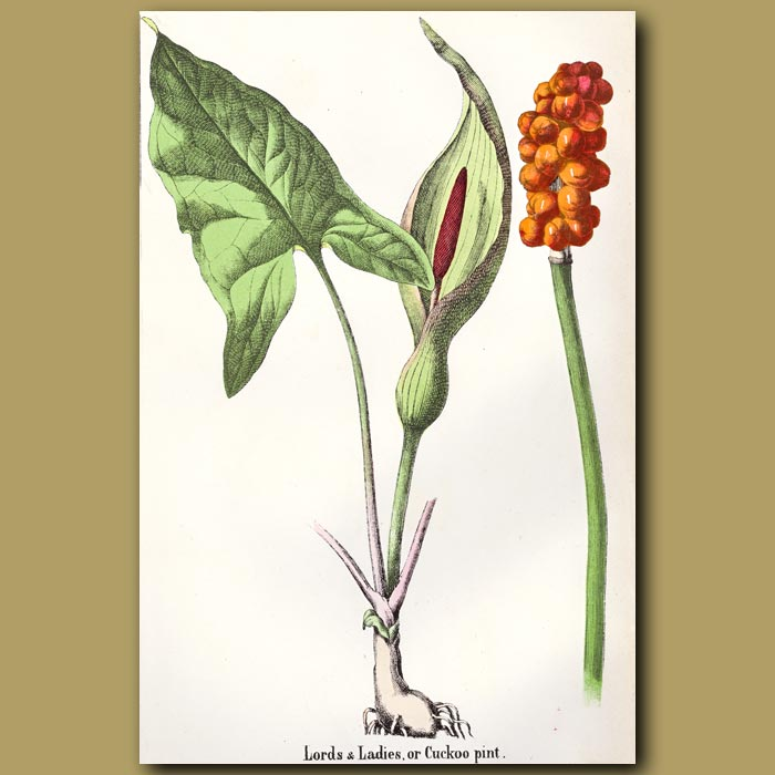 Antique print. Lord And Ladies Or Cuckoo Pint