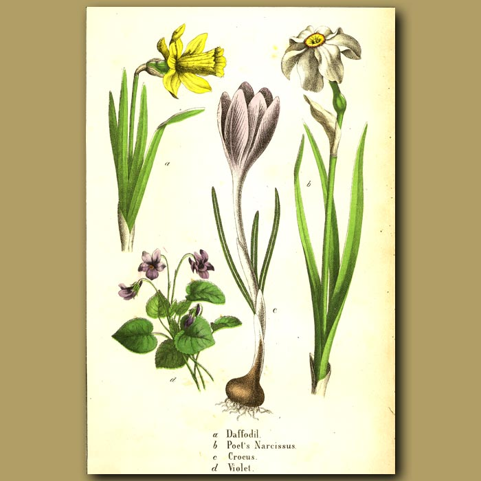 Antique print. Daffodil, Crocus and Violet
