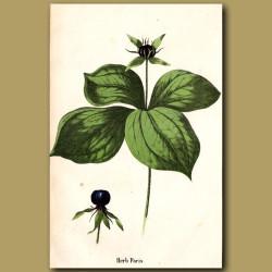 Herb Paris