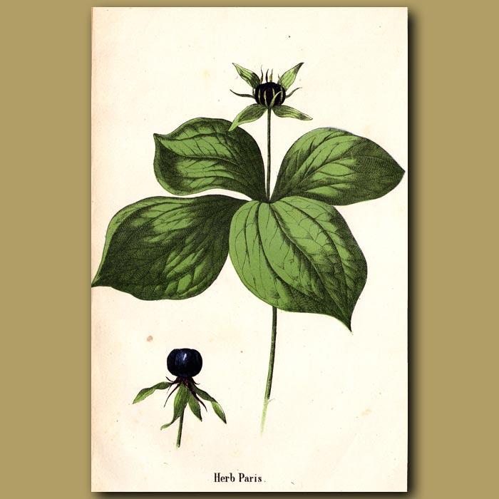 Antique print. Herb Paris