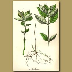 Herb Mercury