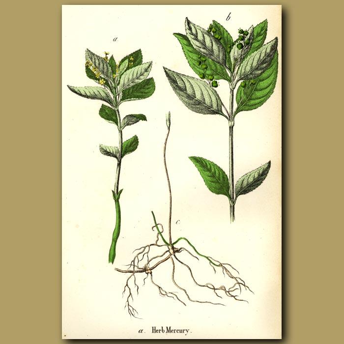 Antique print. Herb Mercury