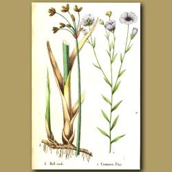 Bullrush and Common Flax