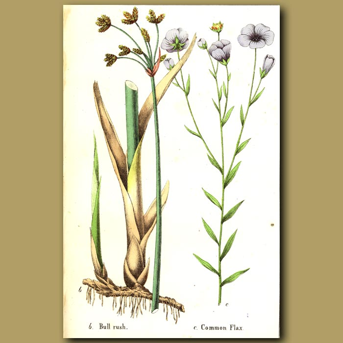 Antique print. Bullrush and Common Flax
