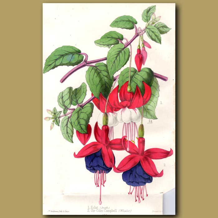 Antique print. Fuchsias Eclat and Sir C. Campbell