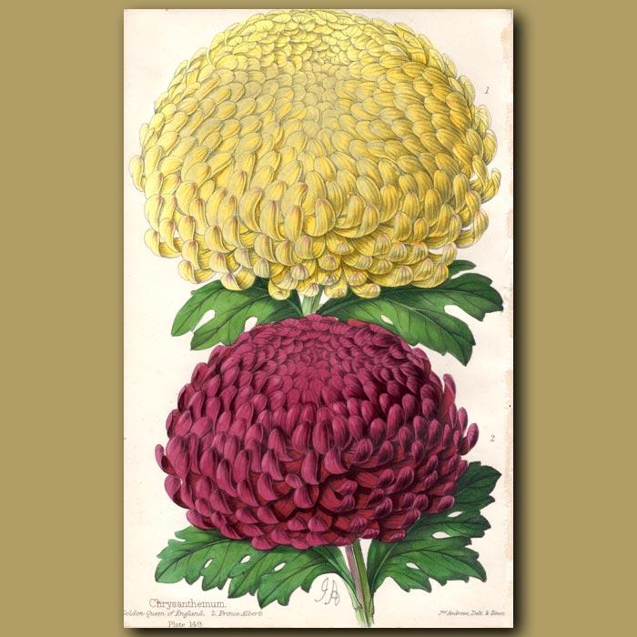 Antique print. Chrysanthemums Golden Queen and Prince Albert