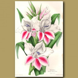 Gladiolus Berthe Rabourdin