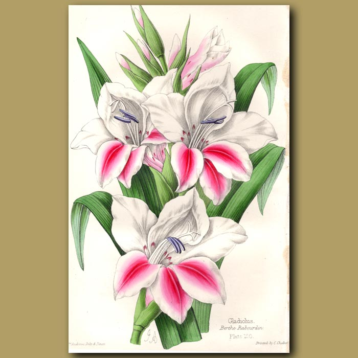Antique print. Gladiolus Berthe Rabourdin