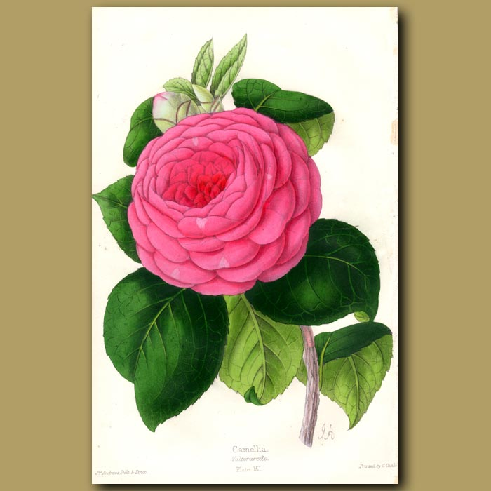 Antique print. Camellia Valtevaredo