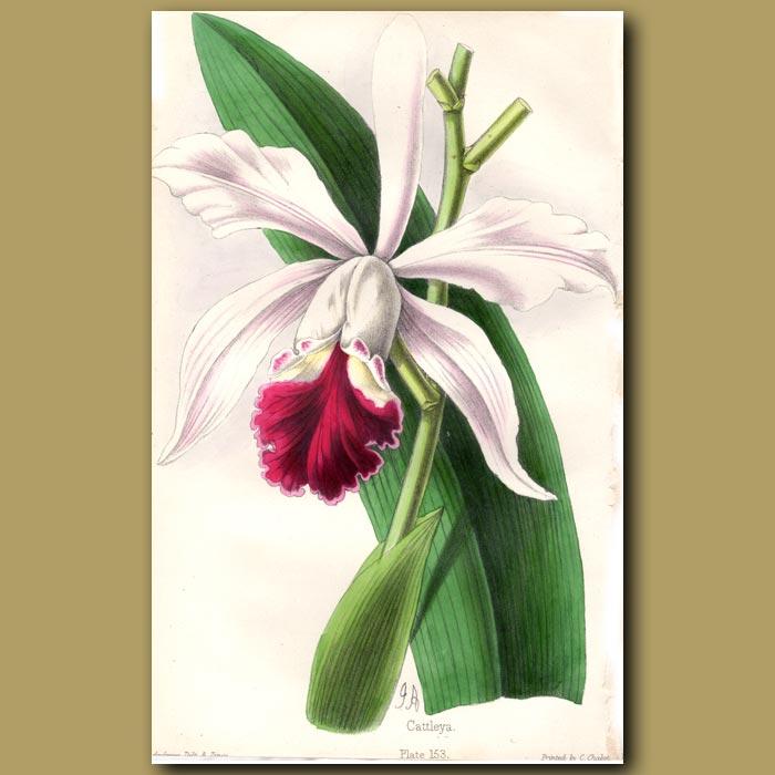 Antique print. Cattleya Orchid Laelia Schilleriana