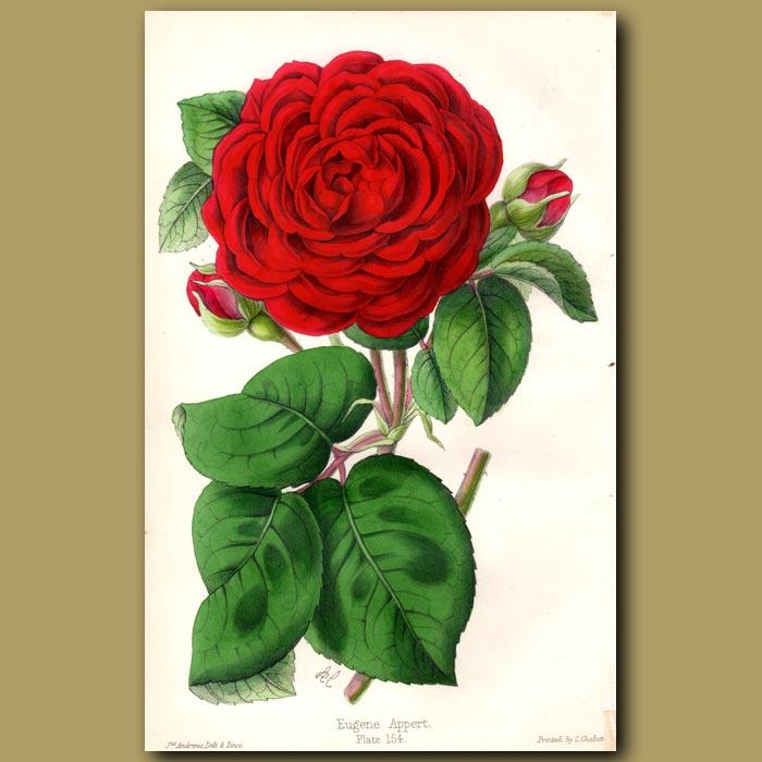 Antique print. Rose Eugene Appert