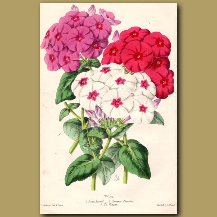 Antique print. Phloxes Julia Roussel, Souvenir d'un Ami and La Volupte