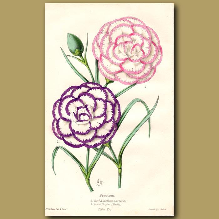 Antique print. Picotees Rival Purple and Rev. A. Matthews
