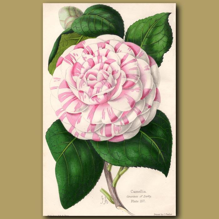 Antique print. Camellia Countess of Derby