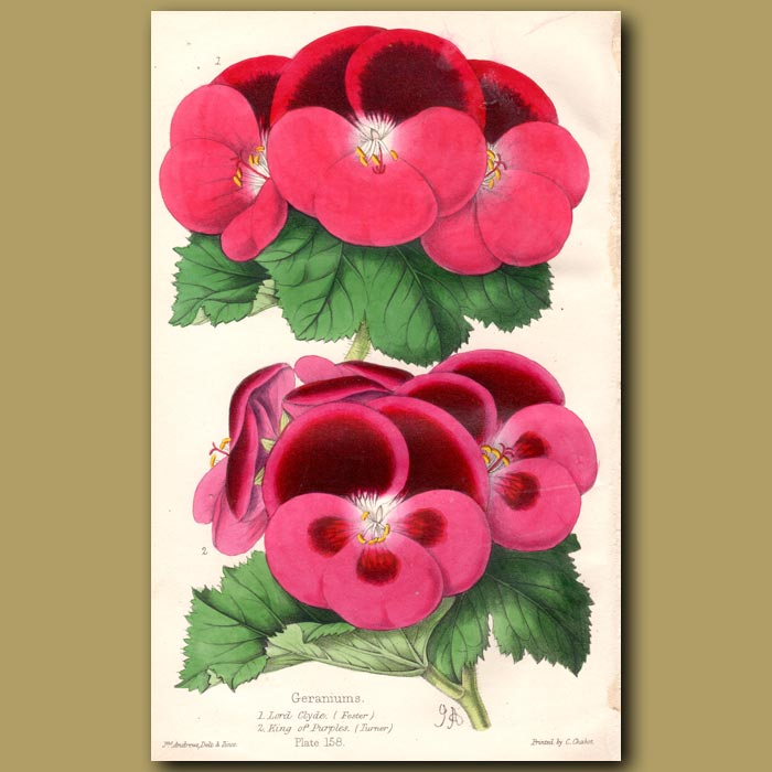 Antique print. Pelargoniums Lord Clyde and King of Purple