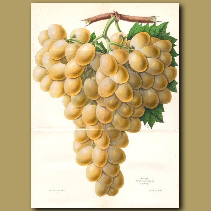 Antique print. Bowood Muscat Grape