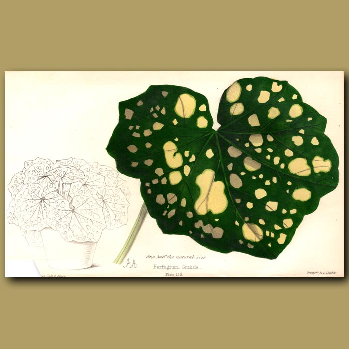 Antique print. Green Leopard Plant