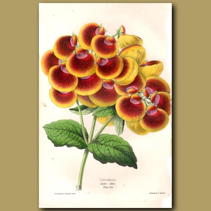 Antique print. Calceolaria Gem