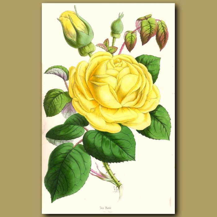 Antique print. Tea Rose Isabella Gray