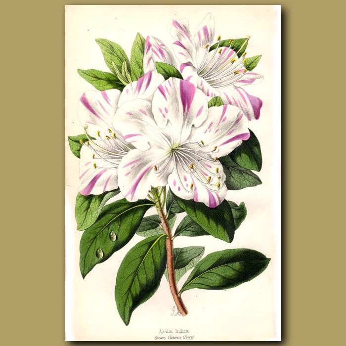 Antique print. The Chinese Azalea Queen Victoria