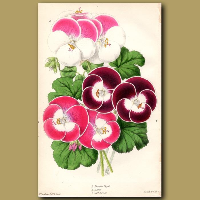 Antique print. Pelargoniums (Fancy, Princess-Royal, Acme, Mrs Turner)