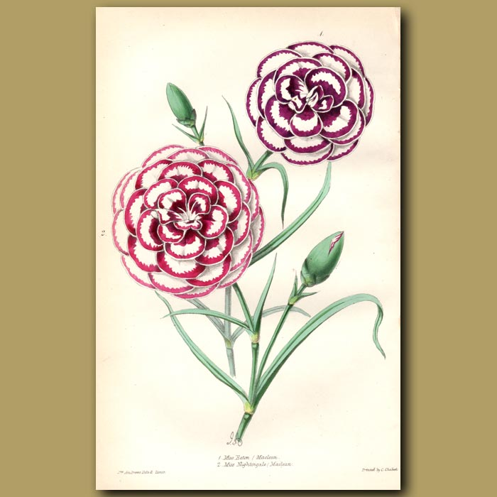 Antique print. Pink Miss Eaton and Pink Miss Nightingale