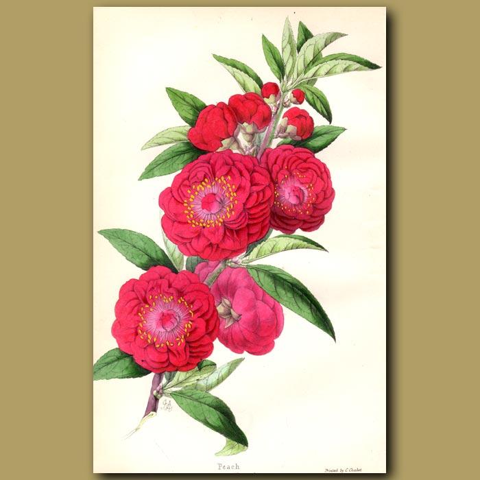 Antique print. Peach, Camellia-flowered
