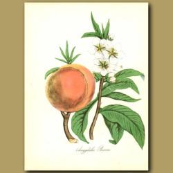 Peach Tree (Amygdalus persica)