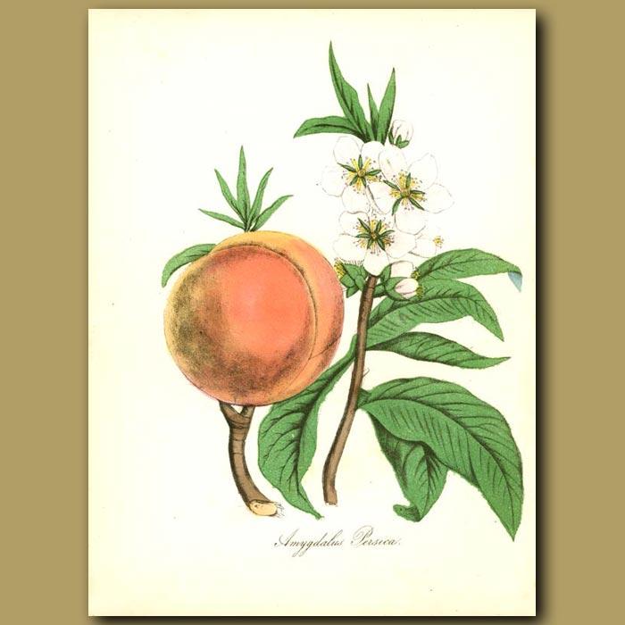 Antique print. Peach Tree (Amygdalus persica)