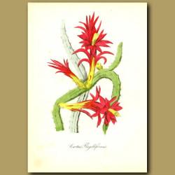 Creeping Cereus (Cactus flagelliforis)