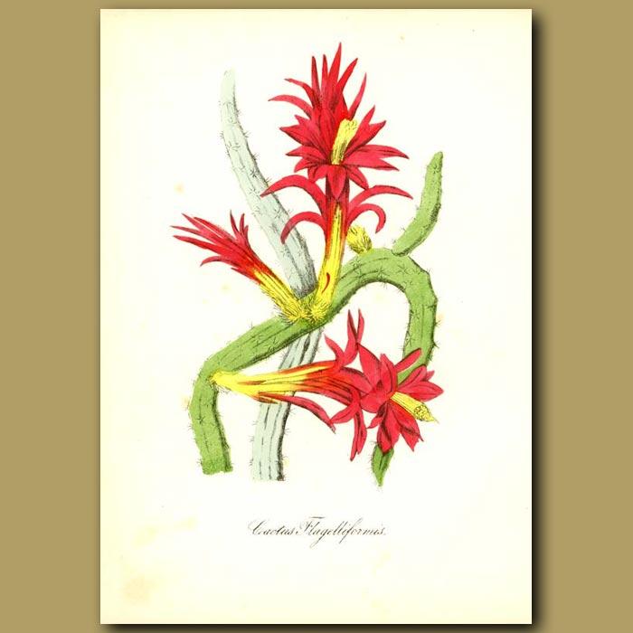 Antique print. Creeping Cereus (Cactus flagelliforis)