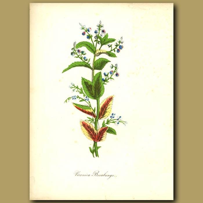 Antique print. Brooklime (Veronica beccabunga)
