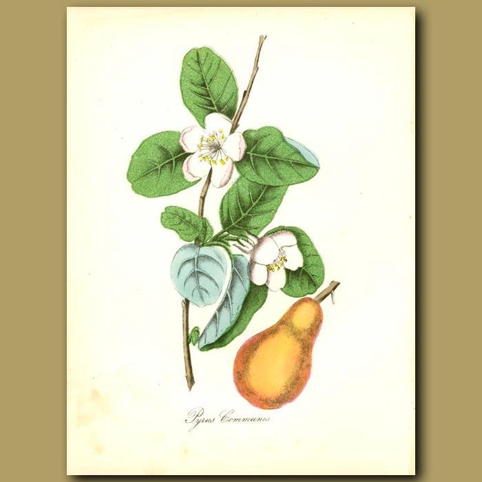 Antique print. Pear Tree (Pyrus comunis)