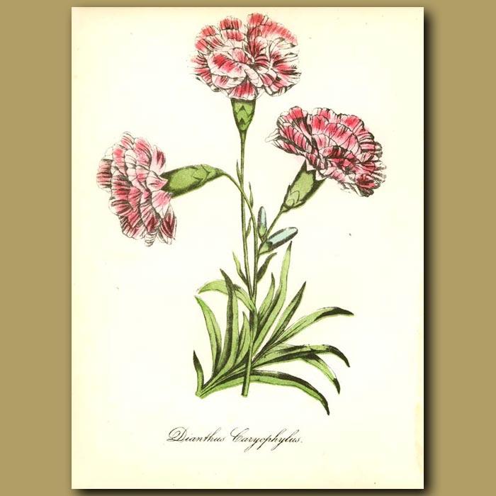 Antique print. Clove Carnation (Dianthis caryophyllus)