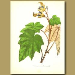 Hand Flower Tree (Cheriostemon plantanoides )