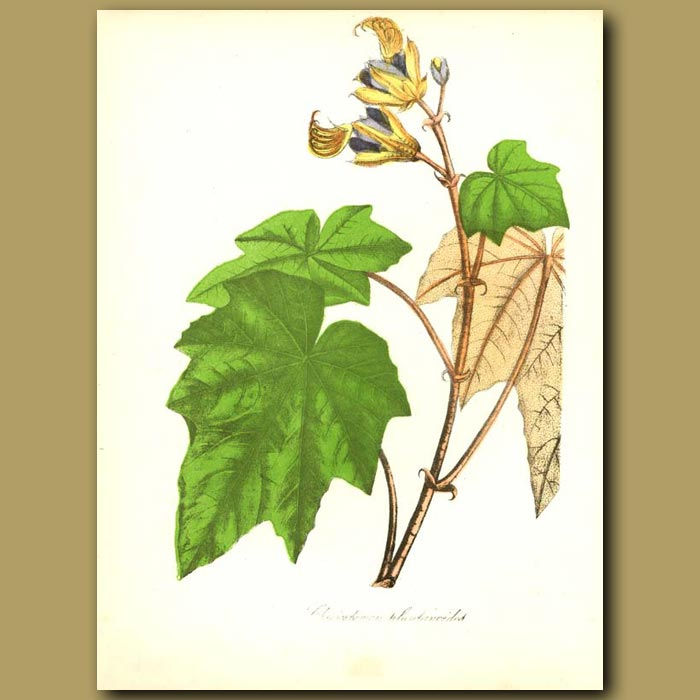 Antique print. Hand Flower Tree (Cheriostemon plantanoides )