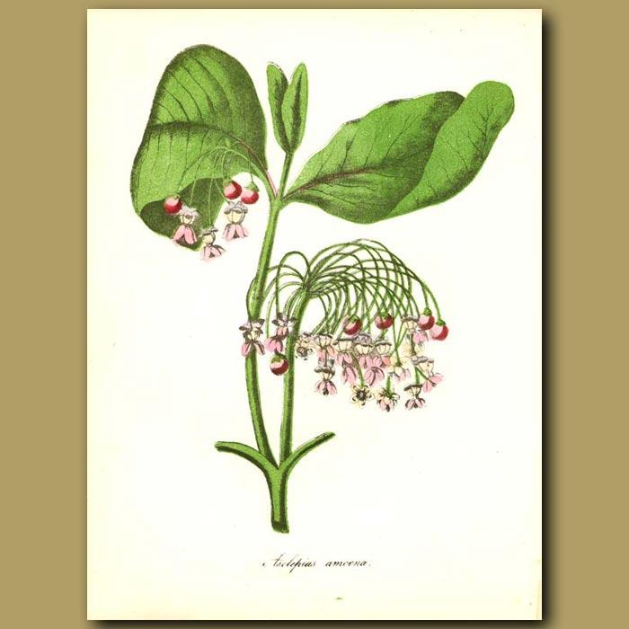 Antique print. Silk Weed (Asclepias syriaca )